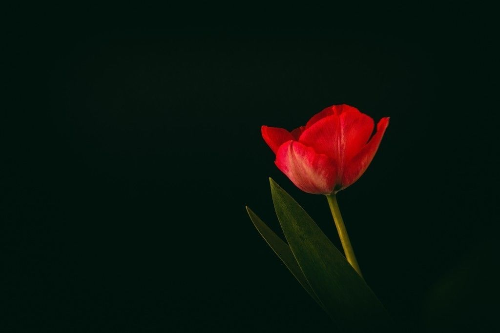 Tulip Flower Red Flower Minimal Wallpaper Tulips Flowers Pink Flowers Wallpaper Red Flowers