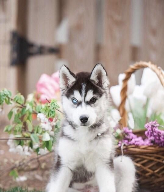 Good Morning Happyday Husky Socializing Dogs Super Cute Dogs
