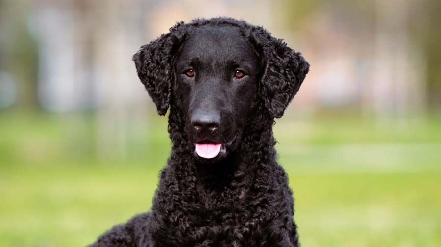 Curly Coated Retriever Price Temperament Life Span Curly