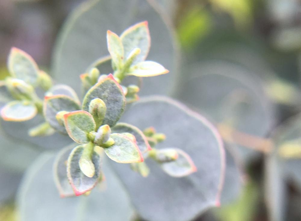 風知蒼 シルバーの小さく丸い葉が可憐なユーカリグニーの花 Fuchiso Eucalyptus 2020 プリンセチア 造園 お庭