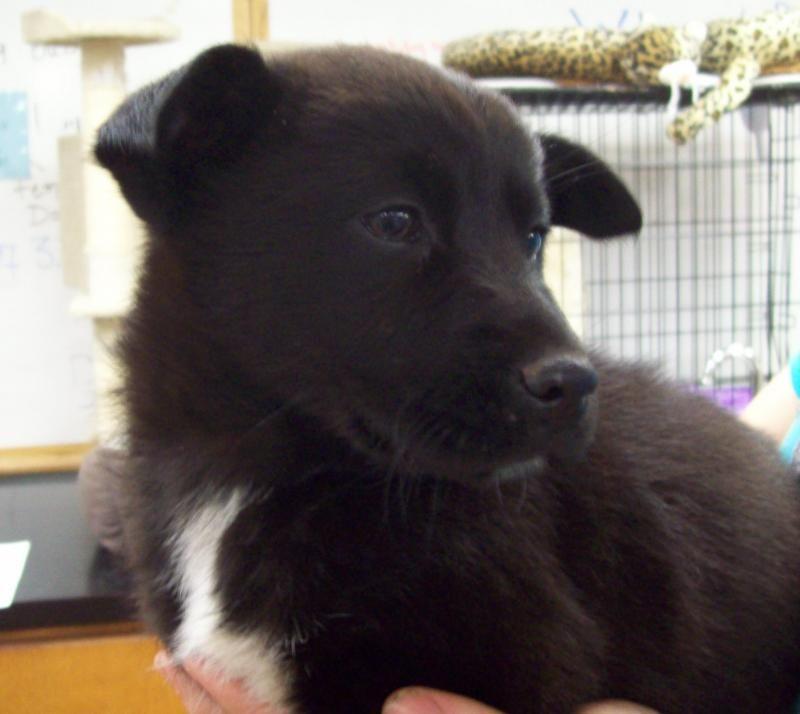 Meet Amy a Petfinder adoptable Chow Chow Dog Salem, NH