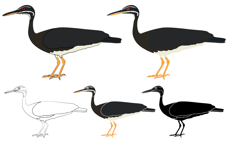 Pavaozinho pavao Para Bird Sunbittern Atlantic Forest