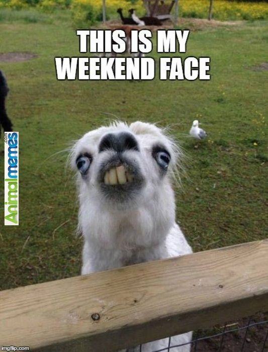 Animal memes The Face After Partying All Weekend... Check ...