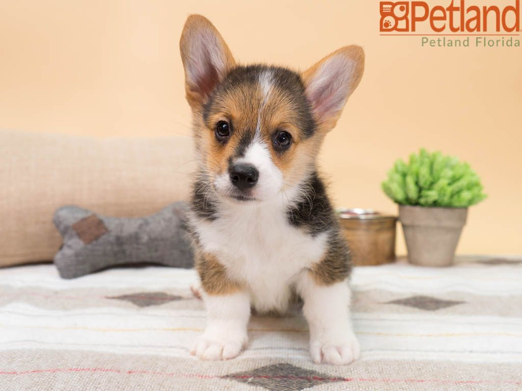 Puppies For Sale Puppy Friends Puppies Pembroke Welsh Corgi Puppies