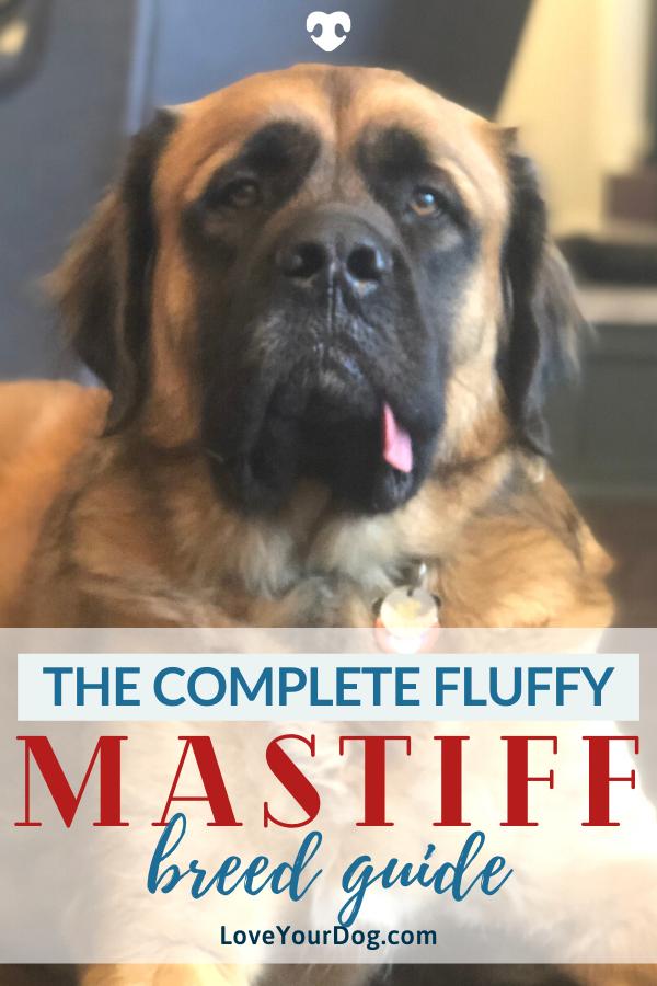 The Fluffy English Mastiff Can Mastiffs Have Long Hair Loveyourdog In 2020 Mastiff Breeds English Mastiff Mastiffs