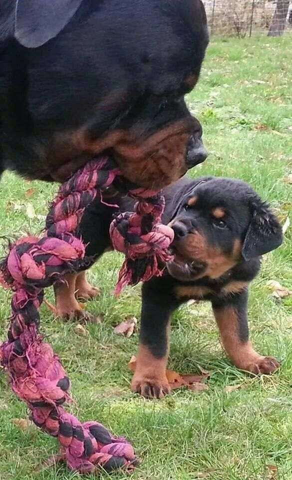 So Cute And Boy To We Go Through The Knotted Rope Rottweiler