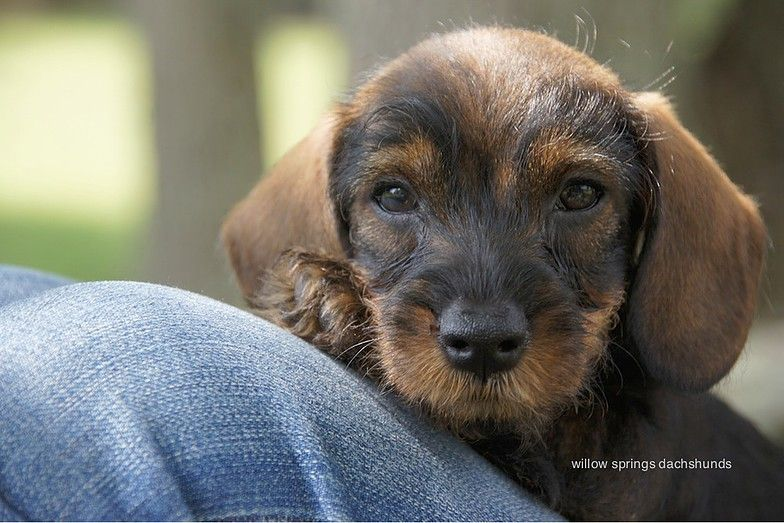 Willow Springs Miniature Wirehaired Dachshunds Teckels Honden