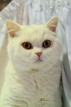 Orange Eyed White British Shorthair British Shorthair British