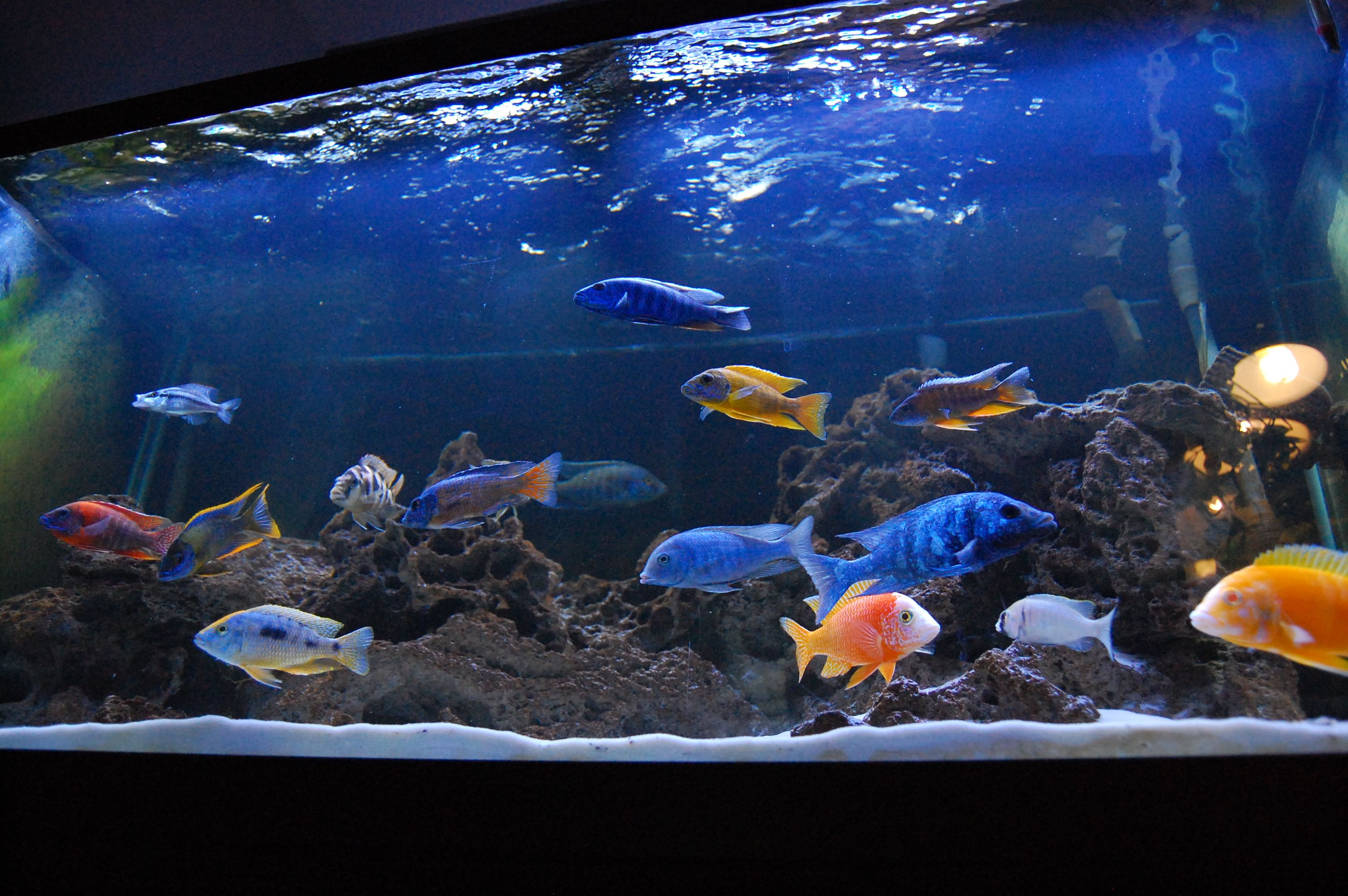 120g all male hap peacock tank i sit in front of it on for Cichlid fish tank