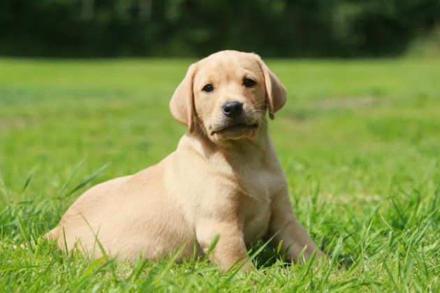 Labs Are So Freaking Cute Dog Breeds Labrador Retriever
