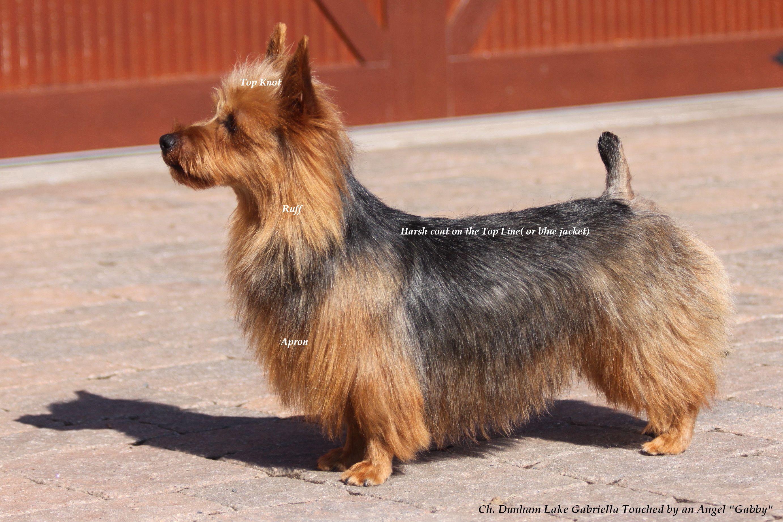Grooming Your Australian Terrier