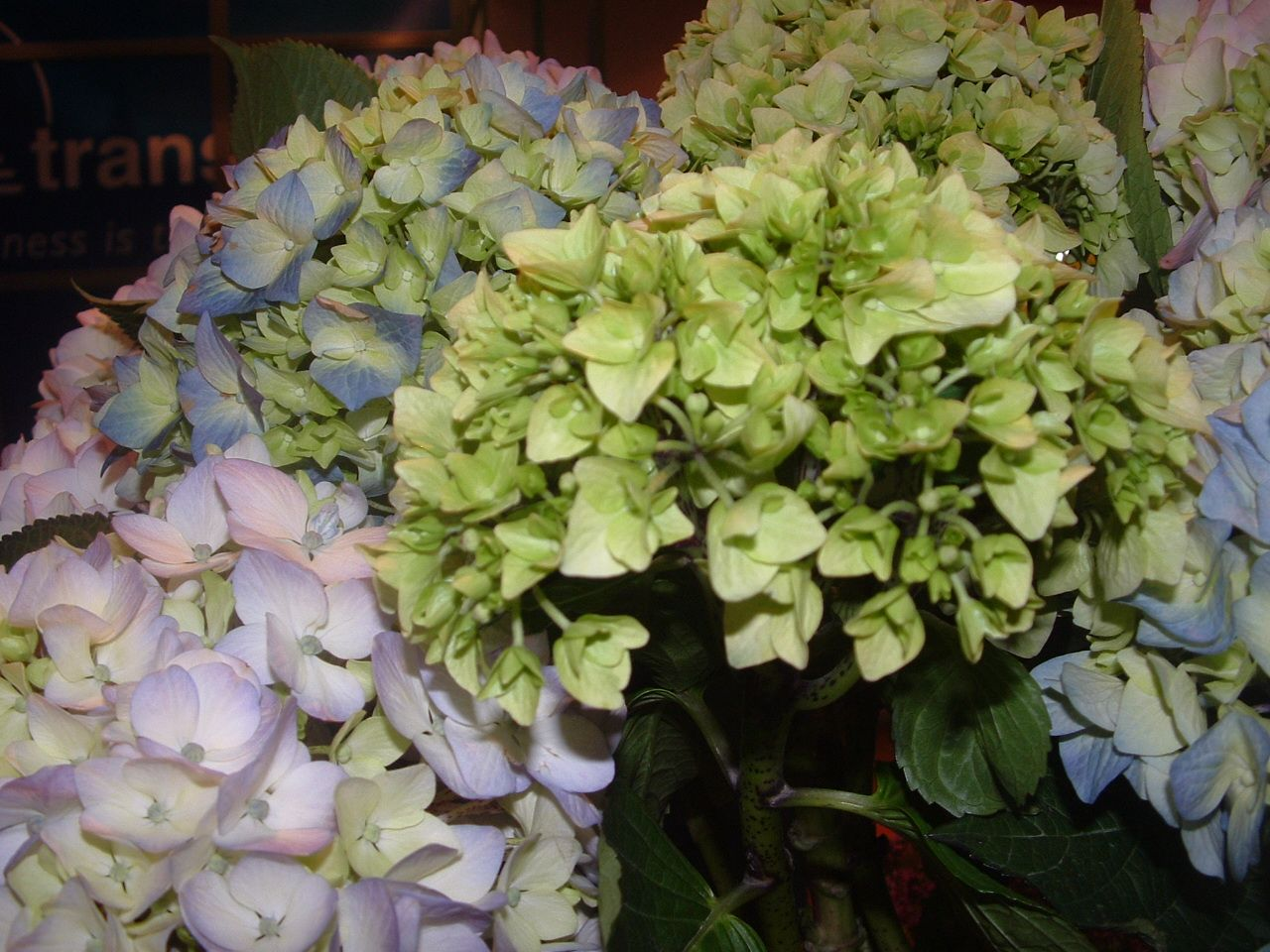Discover the magic of Hydrangeas and get  OFF CODE Christmas