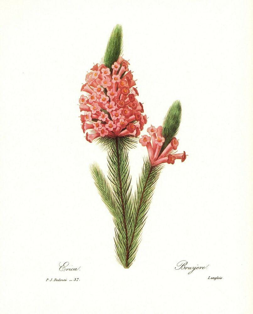 Vintage Pink Heath Botanical Flower Print Redoute Art Print Pjr 2250 Vintage Botanical Flowers Print Vintage Botanical Prints Botanical Art