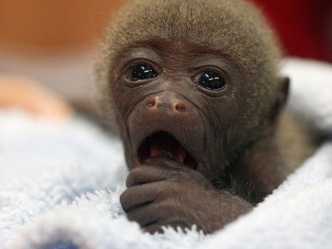 Teeny tiny monkey may just be worlds cutest tiny cuties teeny tiny monkey may just be worlds cutest voltagebd Image collections