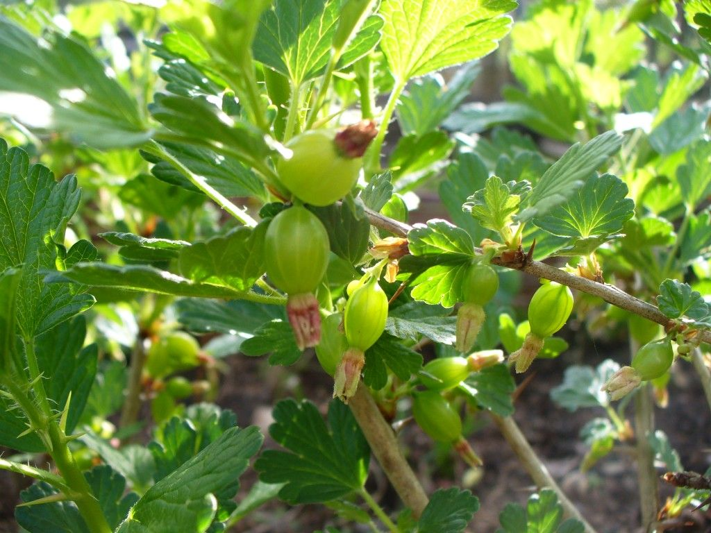 Gooseberries starting to grow, April 2015