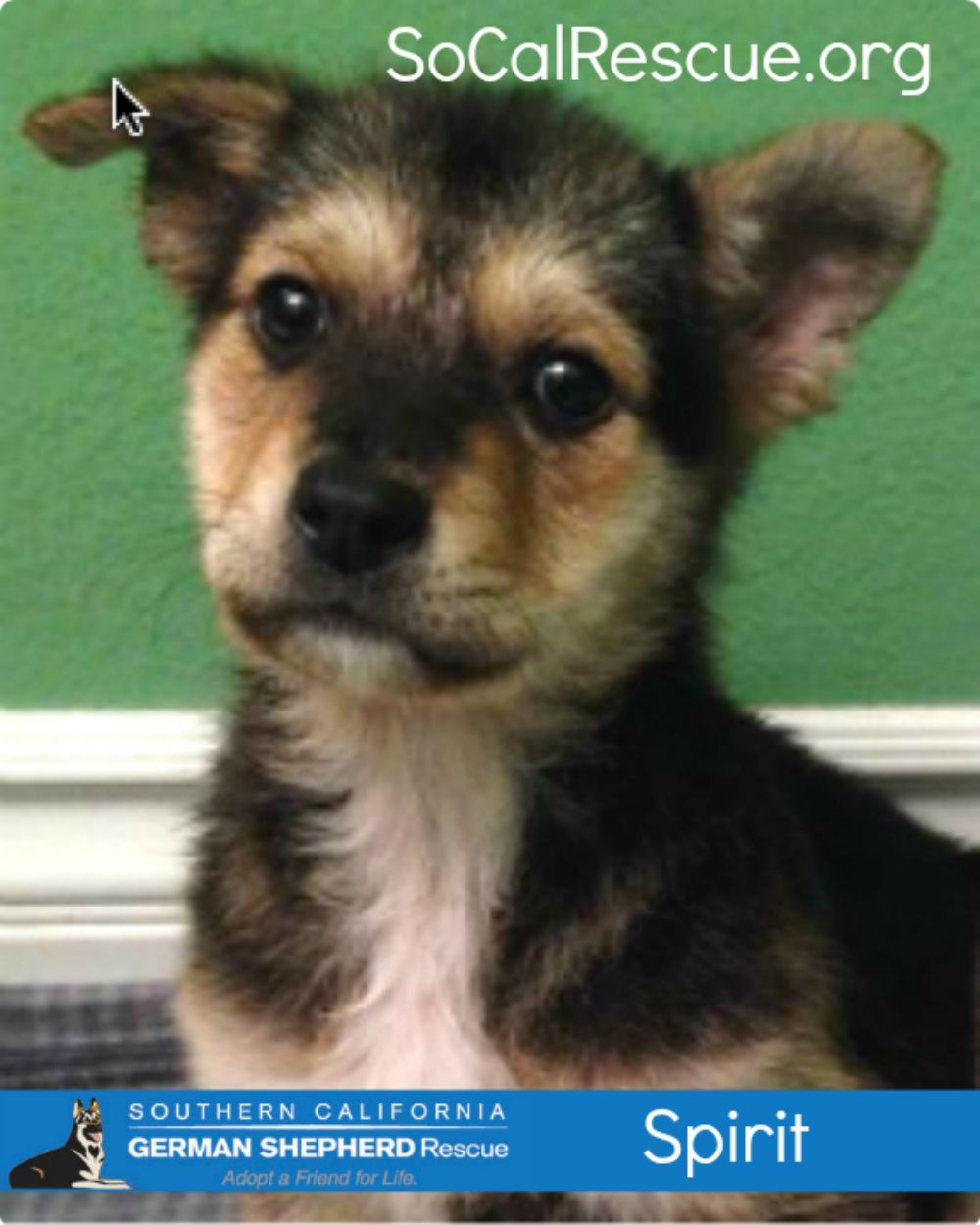 Spirit This Darling Puppy Was Rescued At Three Months Of Age From