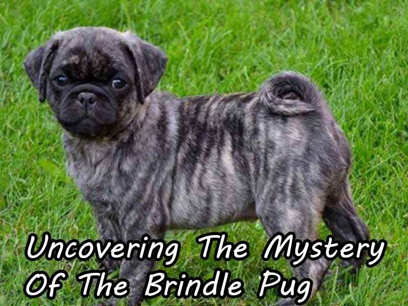 Uncovering The Mystery Of The Brindle Pug Brindle Pug Pugs Pug