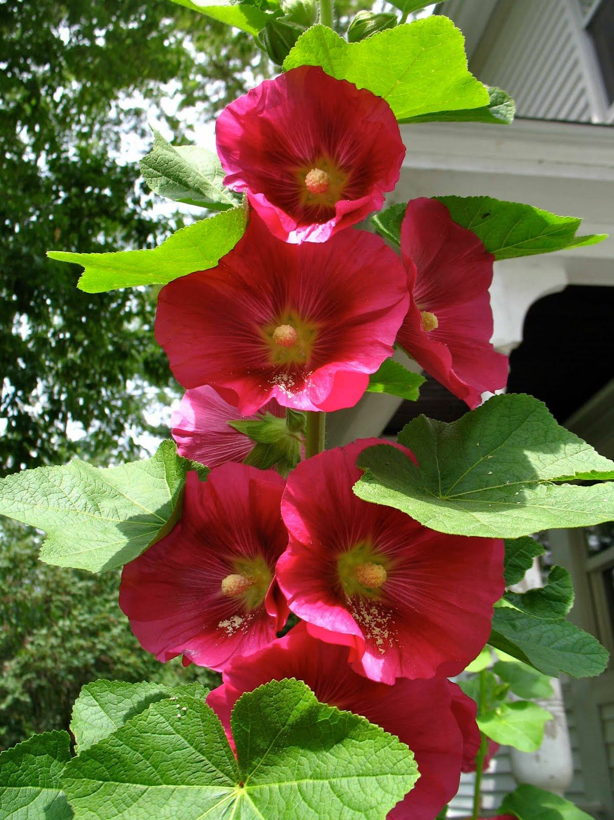 Hollyhock Fun And Bright Annual Flower Needs Sun And A Fence Or