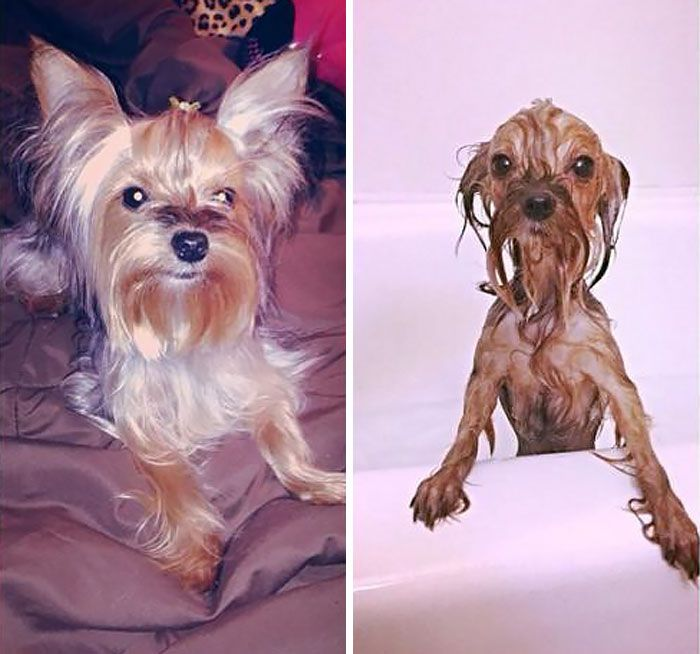 89 Funny Dog Pics Before And After A Bath Funny Dog Pictures