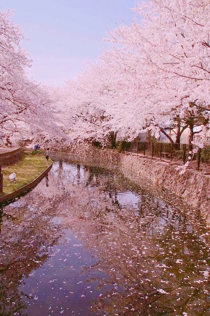 Pin By Chika On Cherry Blossoms Cherry Blossom Japan Beautiful Landscapes Beautiful Nature
