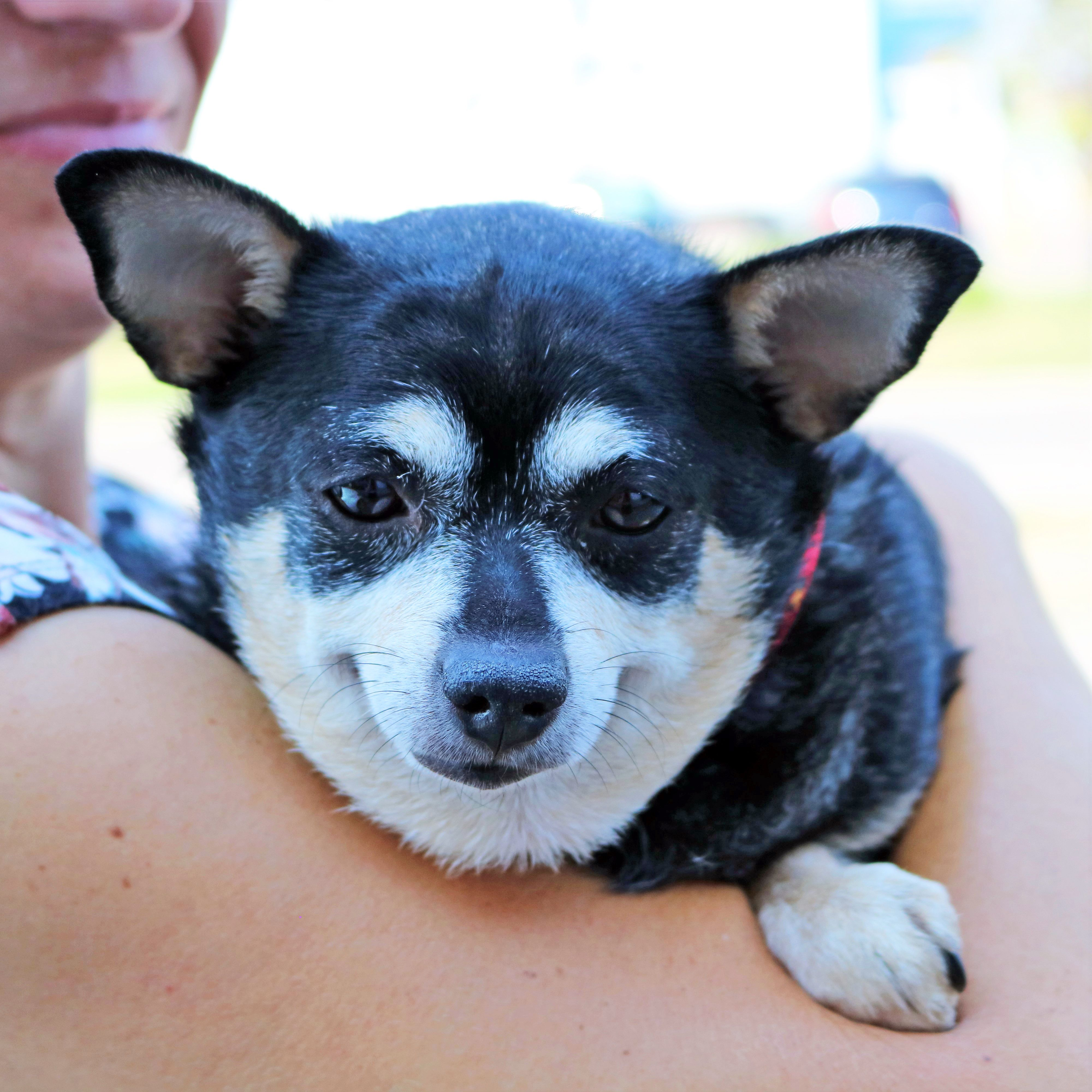 Meet Simone She Is An Affectionate Lap Dog Waiting To Be Adopted
