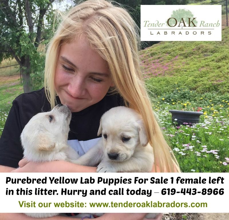 Hurry Only 1 Puppy Left In This Litter Labrador Puppies For Sale Labrador Puppy Puppies For Sale