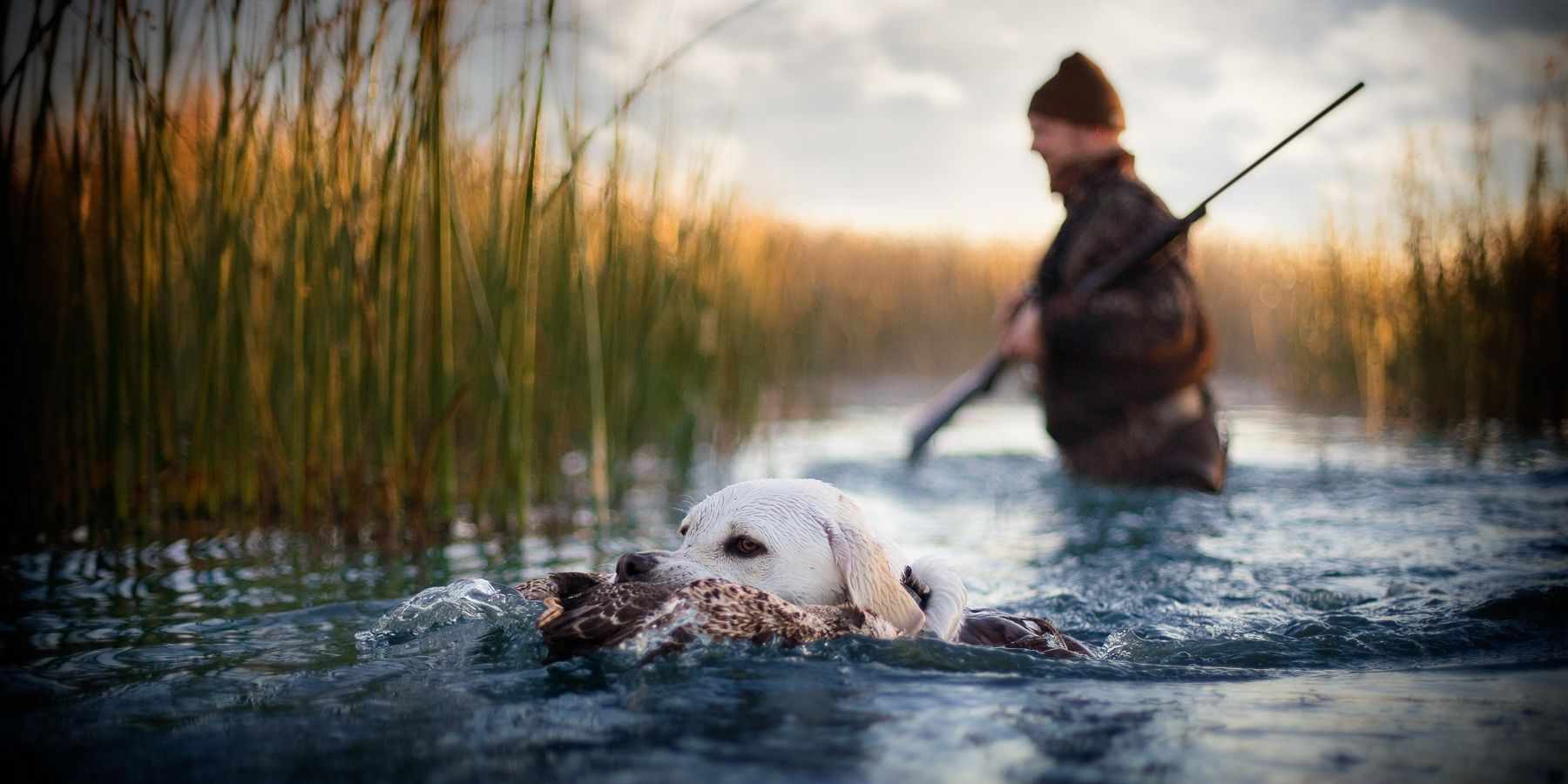 Labrador retrieving a duck