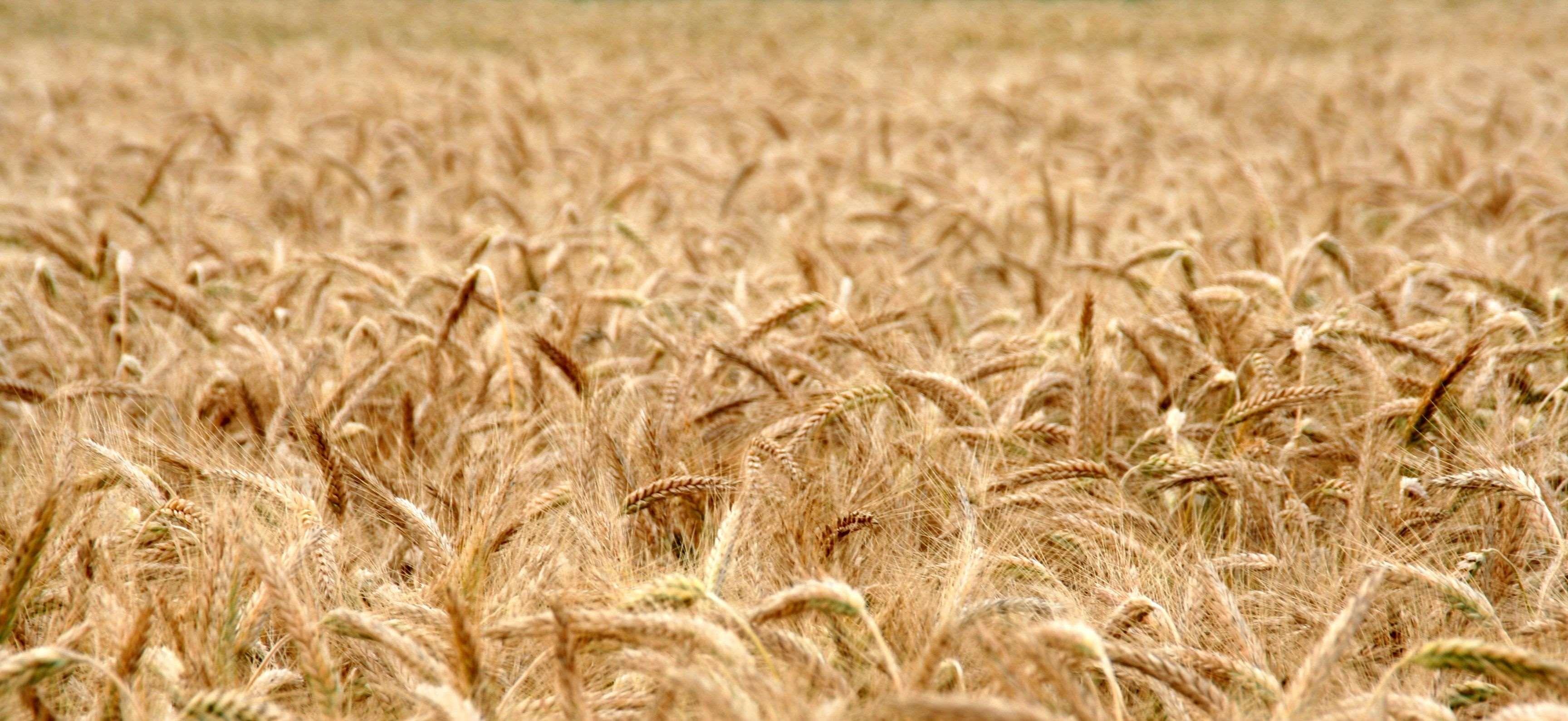 bake #bread #cereals #cornfield #cute #eat #field #flour #food ...