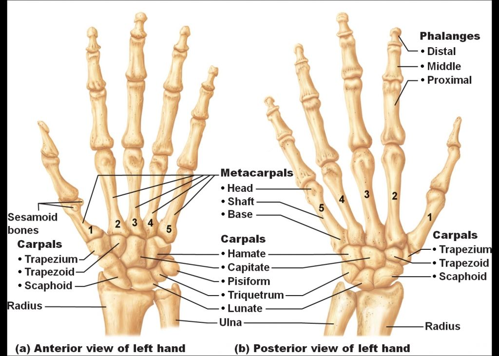 Hand and wrist bone anatomy