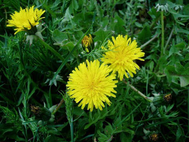 Nombres comunes de plantas plantas silvestres plantas for Plantas ornamentales y medicinales