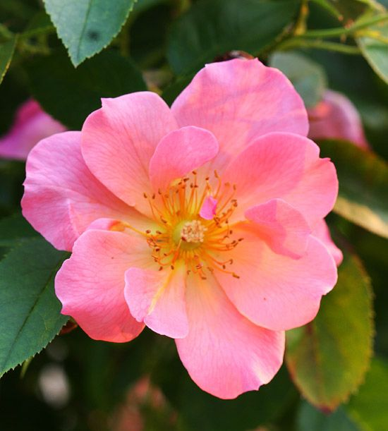 We love the color of this gorgeous rose more roses http for Can you dye roses