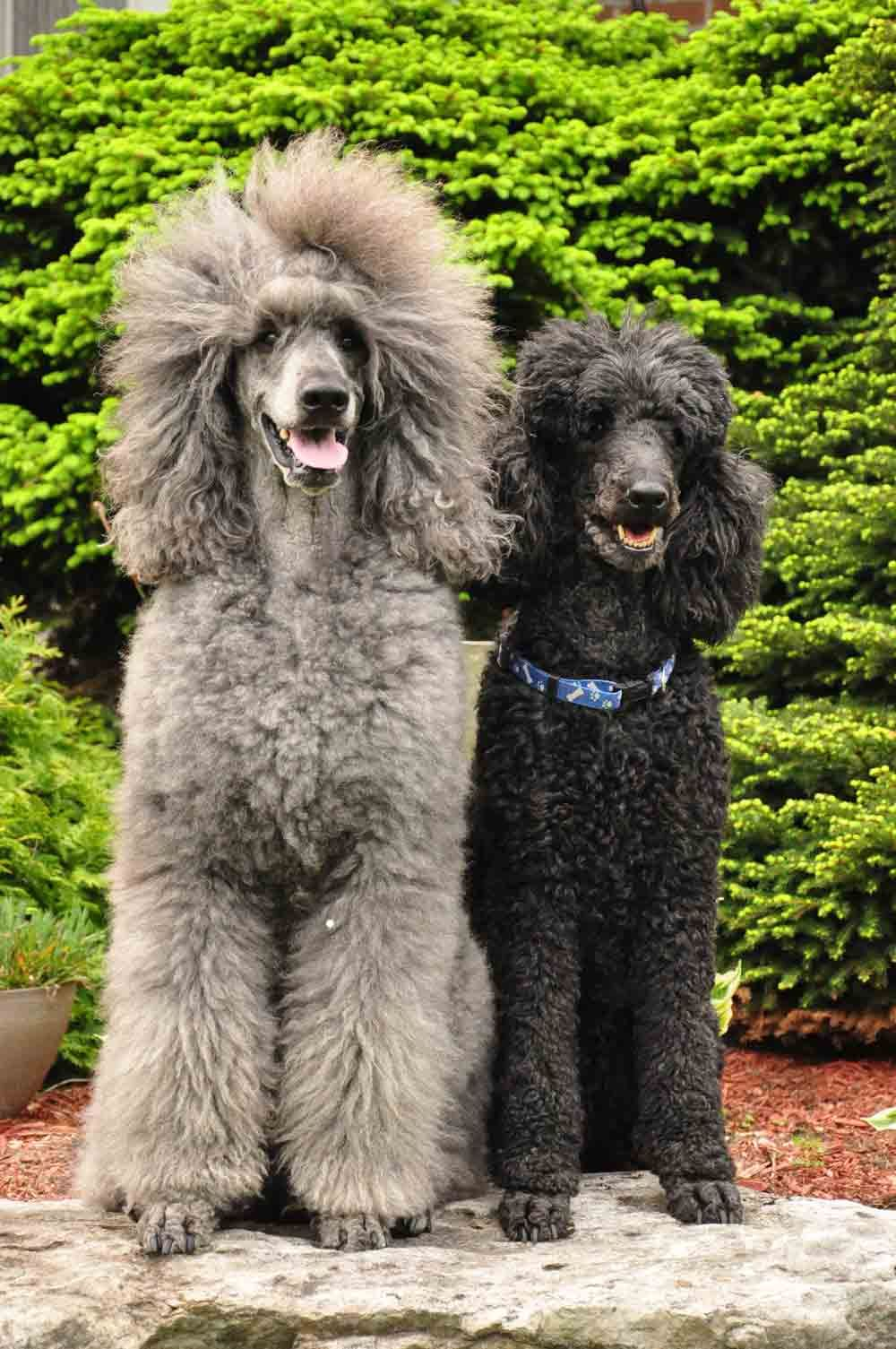 Standard Poodles Standard Poodle Colors I Have Little Poodles