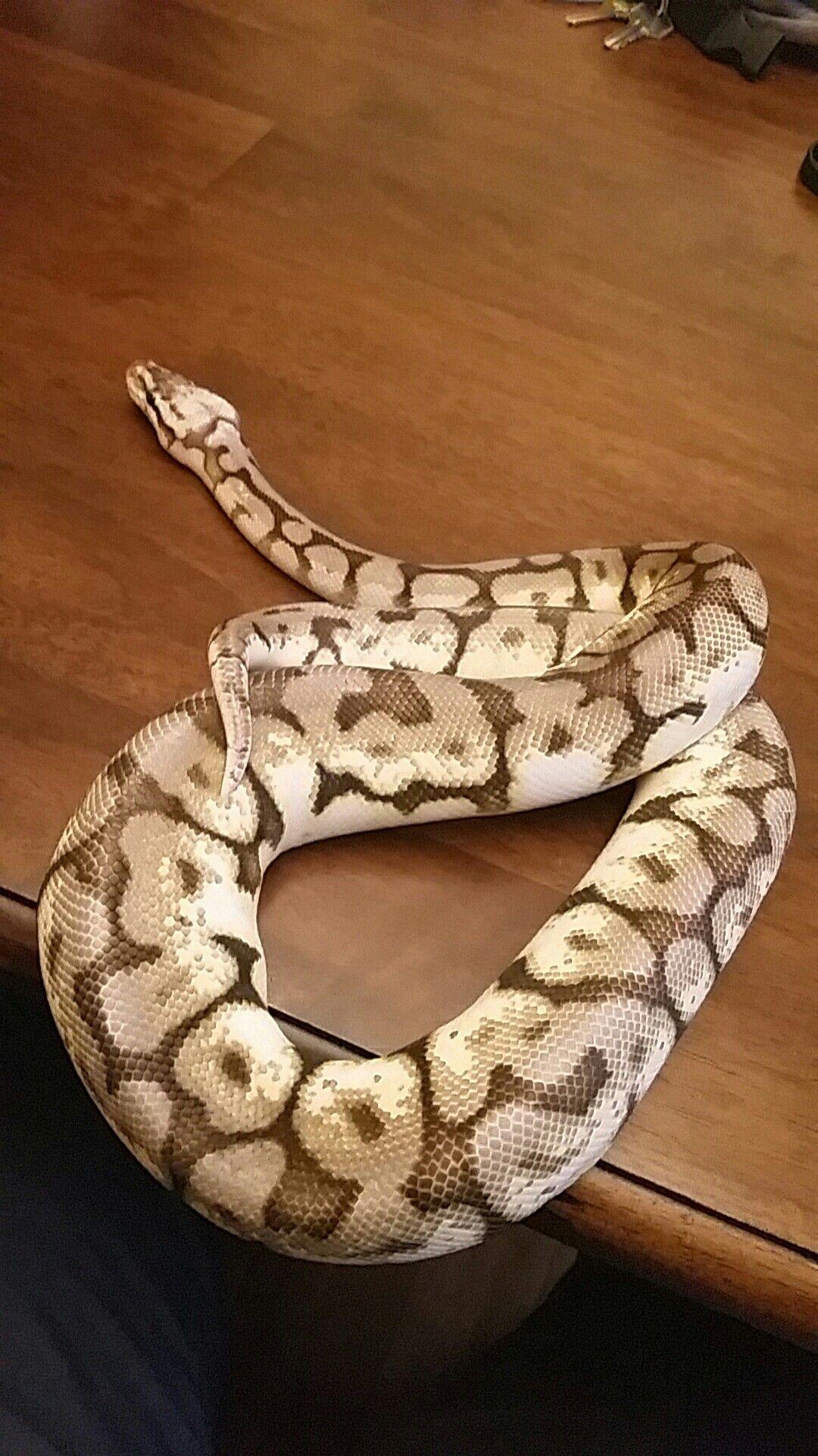 Princess my 1 year old ball python | Pet snake Pretty ...