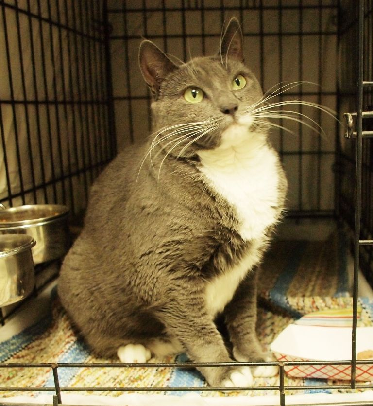 Adopt Kira Petsmart On Grey And White Cat Grey Cats Mama Cat