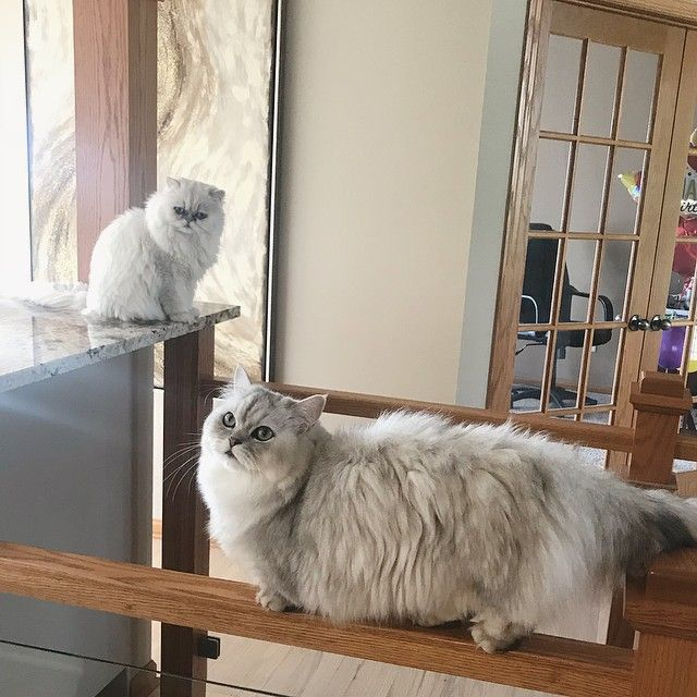 My little gymnast  balancebeam  goldmedal  minuetcat  fluff  littlelegs  meow  catsofinstagram  dailycuteness  persiancatlovers  fluffycat  gymnast
