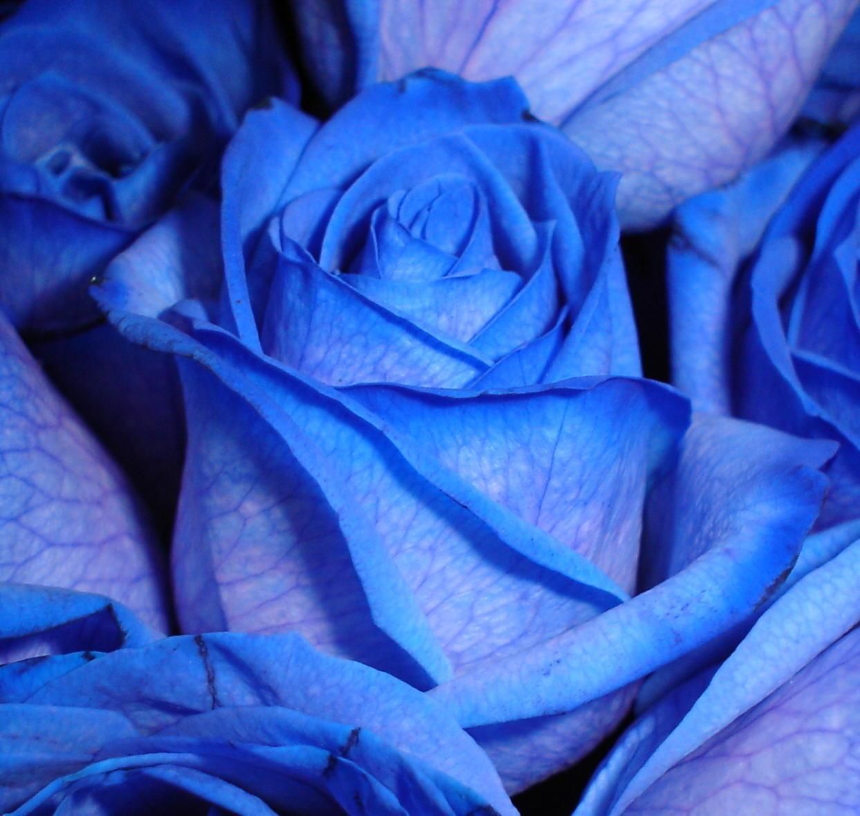 Pin by y sawa on blue rose pinterest blue roses rose and flowers rose buycottarizona