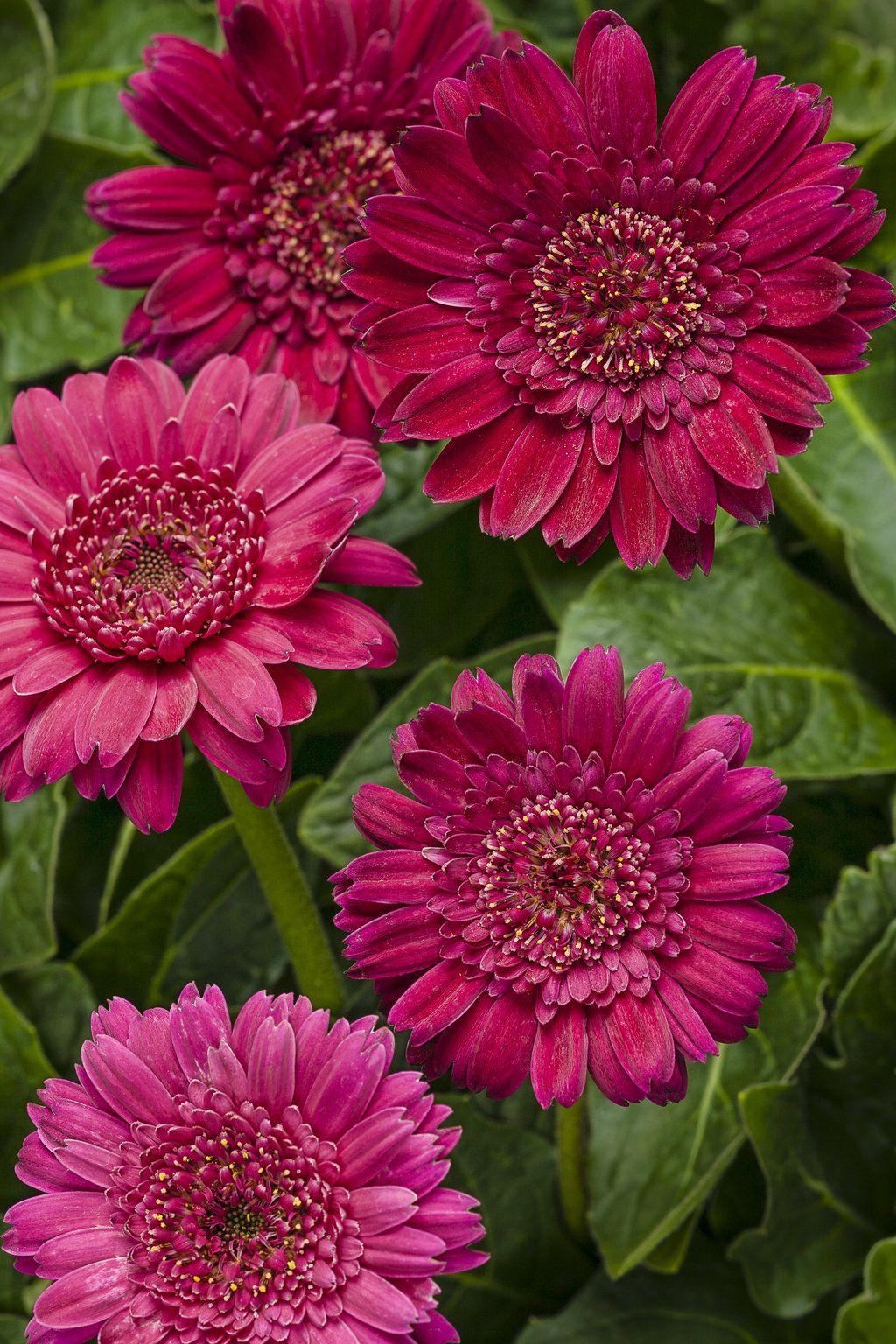 Gerbera Daisy Hello Magenta Tender Perennial Gerbera Flower Flowers Perennials Gerbera