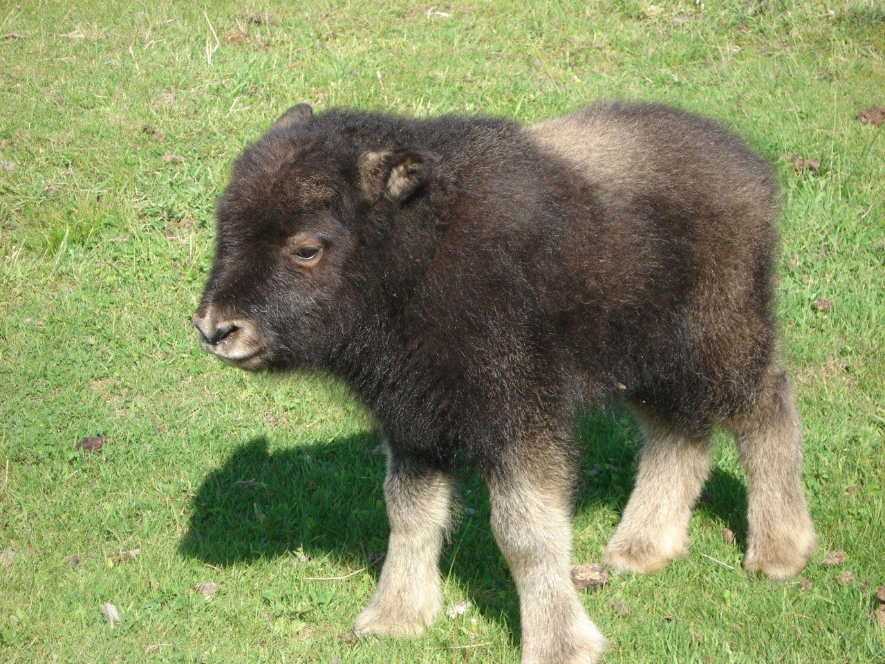 Baby Musk Ox Gif