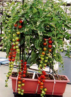 家庭菜園の初心者におすすめの野菜がミニトマト プランターでも育て
