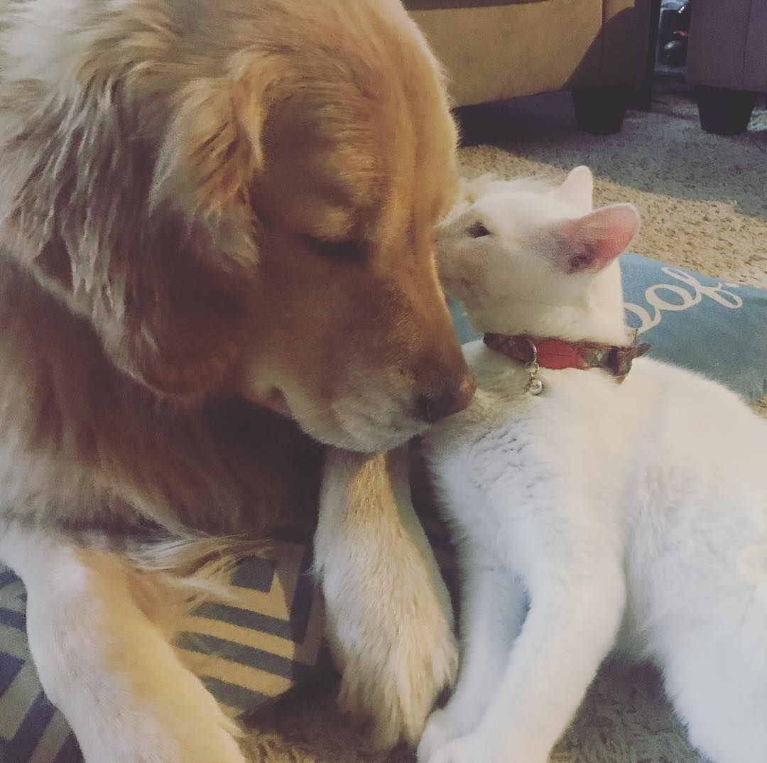 Plushie Loving Therapy Dog Gets A Real Live Kitten To Cuddle Giant Dogs Therapy Dogs Kitten