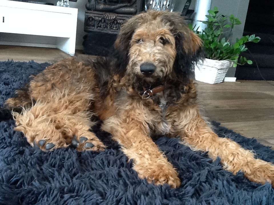 Shepadoodle Google Search Labradoodle Puppy Therapy Dogs Dog