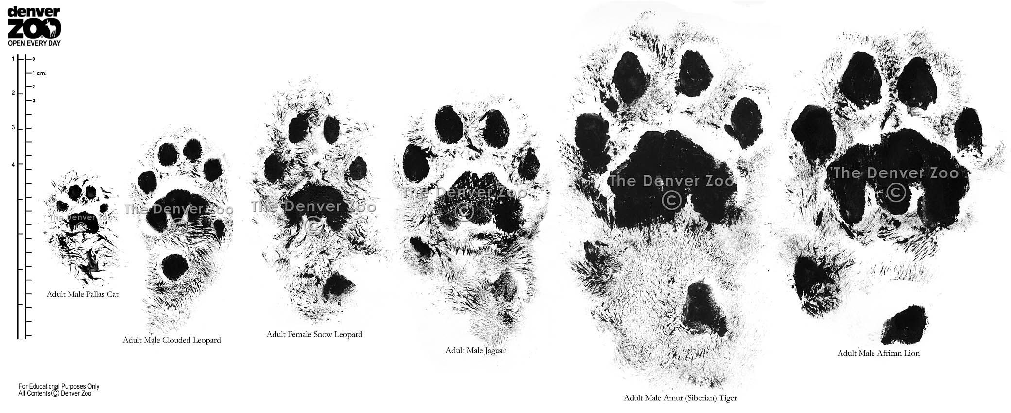 cat_comparison_large.jpg (2081×850) | Feline Anatomy | Pinterest ...