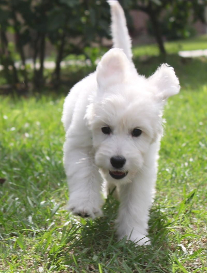English goldendoodle from moss creek goldendoodles