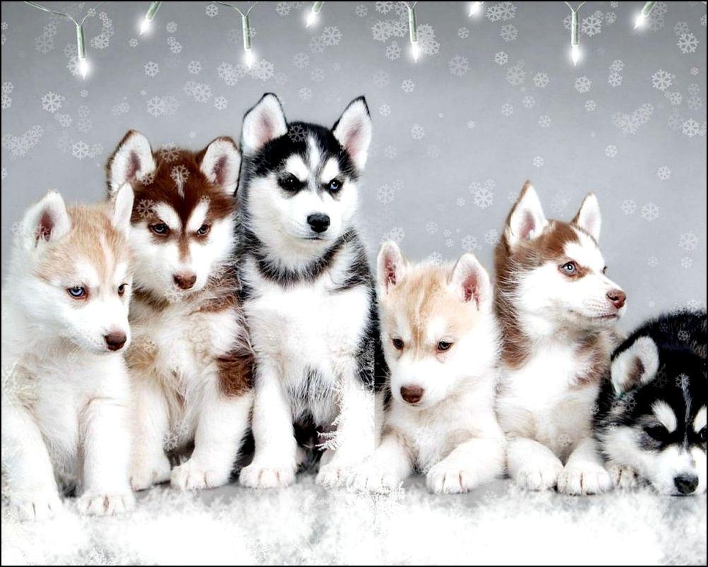 Tags Nbsp Pomeranian Husky Puppy Pom Husky Puppies Teacup Pomsky