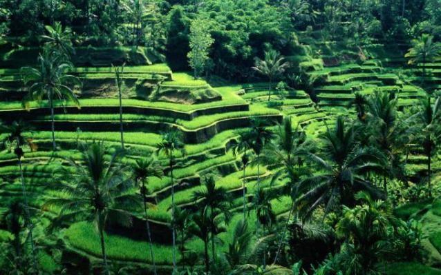 Gambar Pemandangan Sawah Di Bali Yang Indah Pemandangan Paradise Island Bali