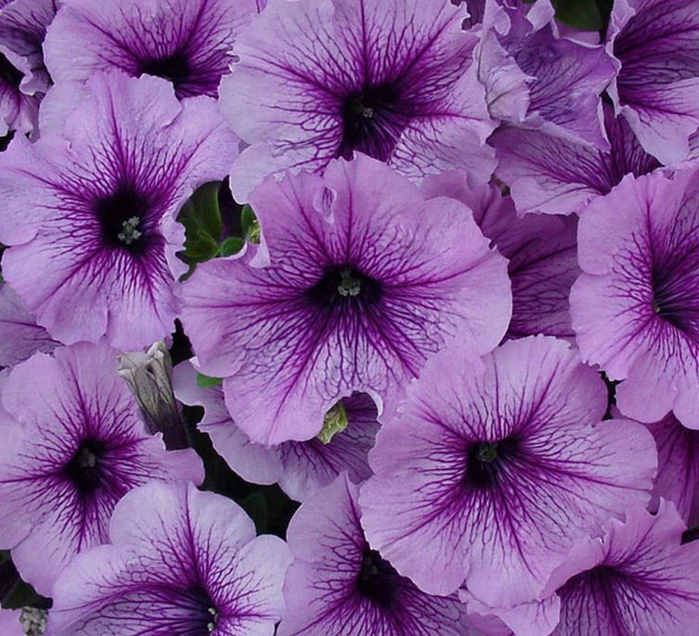 Cheap seeds bulk petunia candypops blueberry bulk flower seed for flower cheap seeds bulk petunia candypops blueberry izmirmasajfo Choice Image