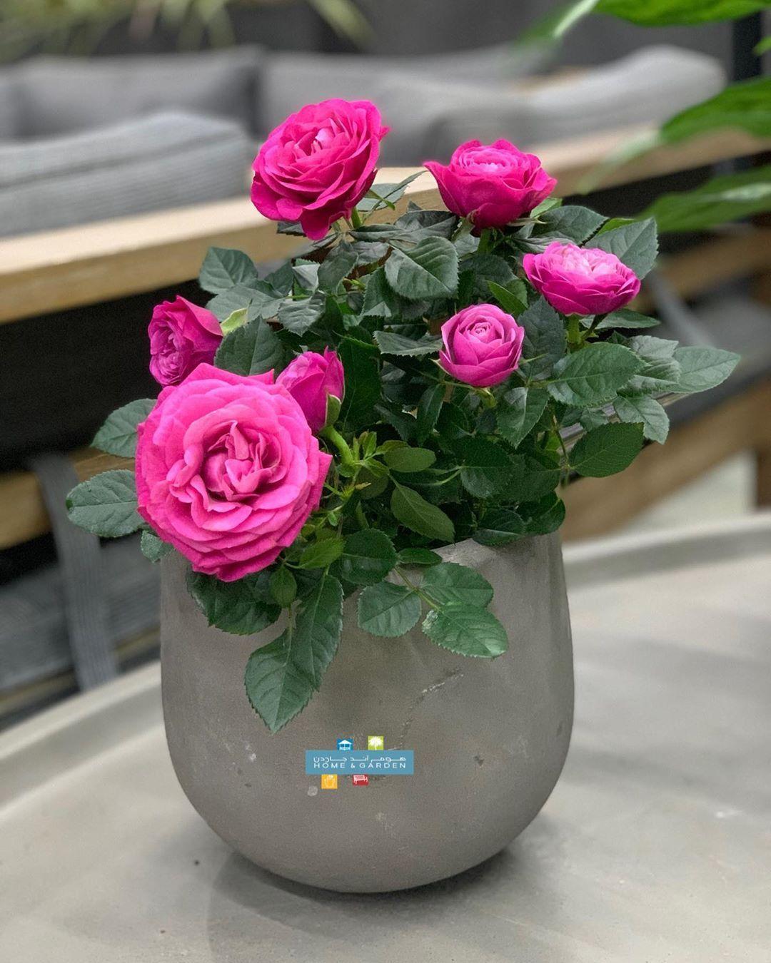 جوري هولندي داخلي وحوض كونكريت أكبر تشكيلة من النباتات الداخلية بالكويت لدى هوم اند جاردن Indoor Plants Plants Indoor Design Indoor Shade Plants