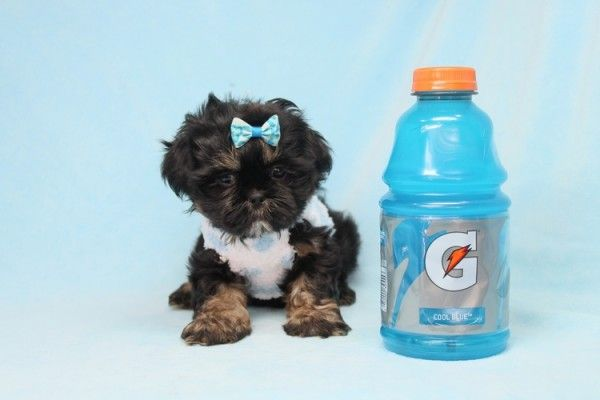 Will Smith Toy Shih Tzu Puppy Available Puppies In Las Vegas