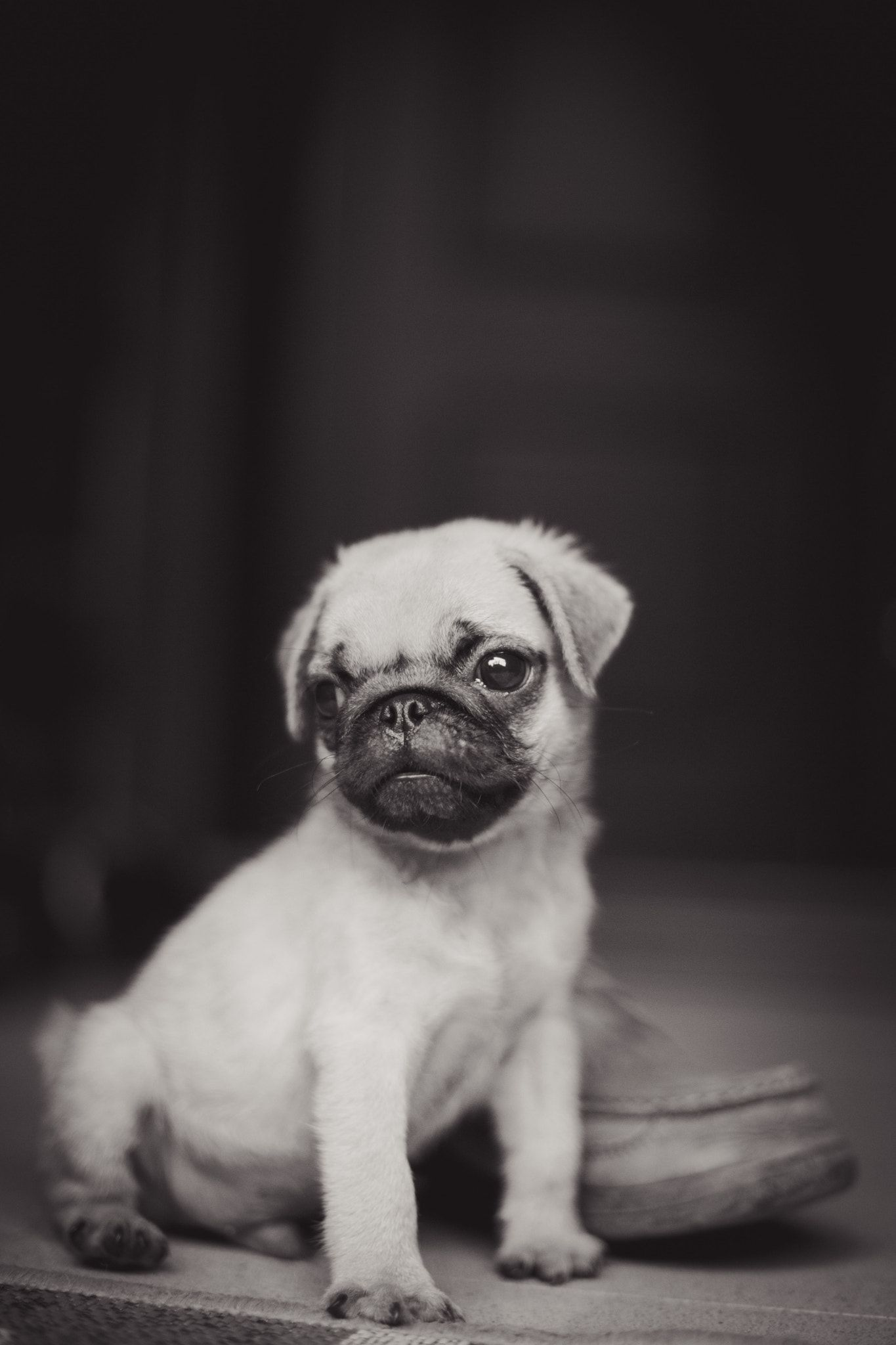 American Pug Puppy That Look When Your Crush Walks Past You By