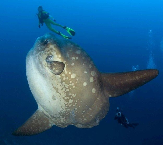 The biggest fish book the largest bony fish in the world for Mola mola fish
